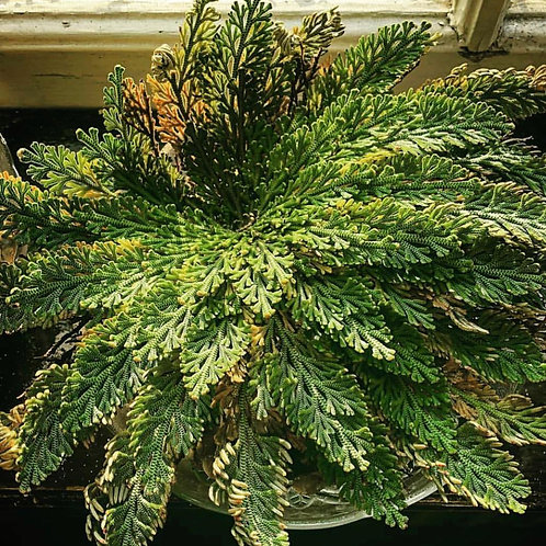 Rose of Jericho Large - Money, Success, Blessings, Wishes Granted
