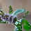 Pennyroyal Home Grown - Energy and Strength, Cleanses Away jinxes