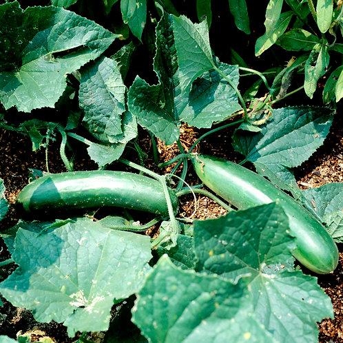 Plant de concombre Raider (pqt de 4)
