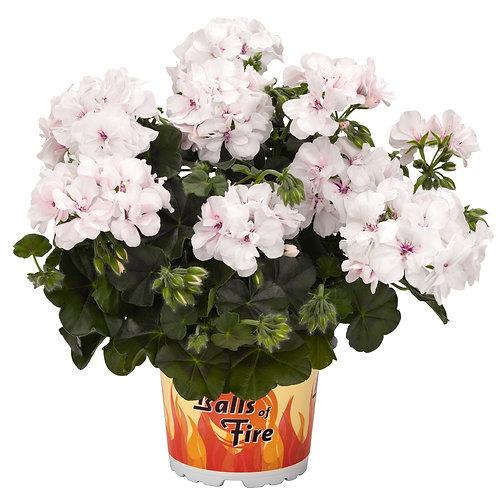 Geranium Ivy Great Balls White