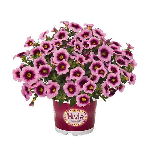 Calibrachoa Hula rose pastel