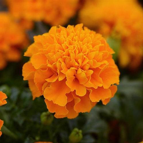 Marigold orange (pqt de 6)