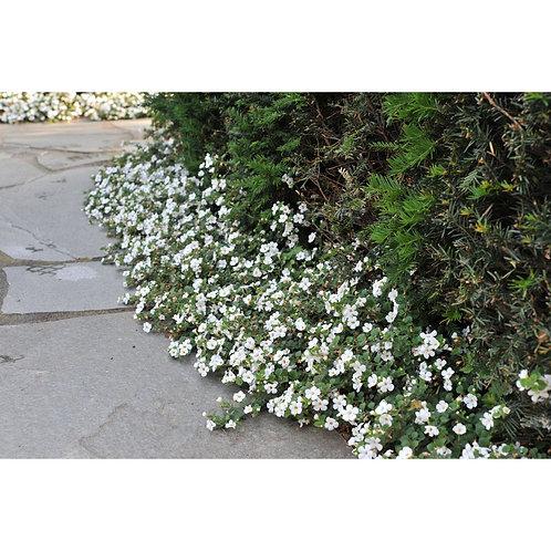 Bacopa Bahia blanc