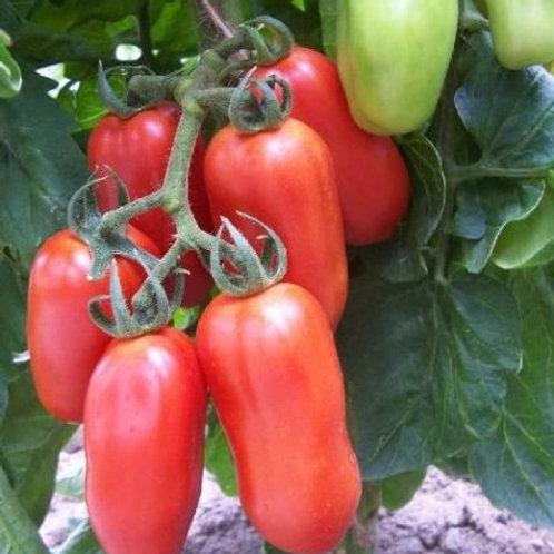 Plant de tomates italiennes San Marzano