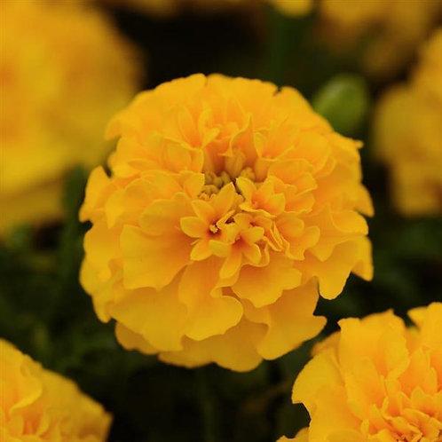 Marigold jaune (pqt de 6)