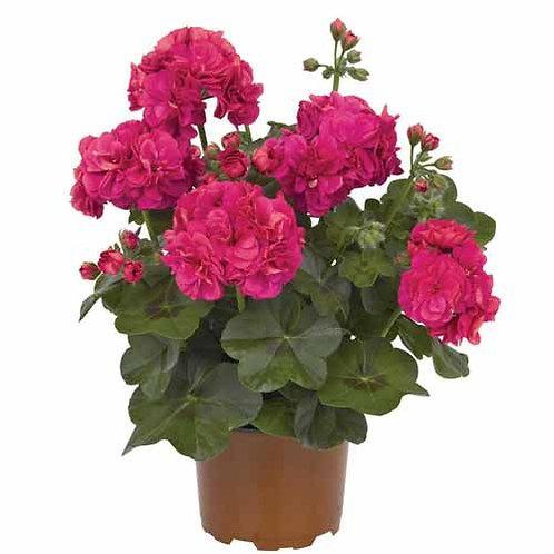 Geranium Ivy Great Balls of fire Deep Rose