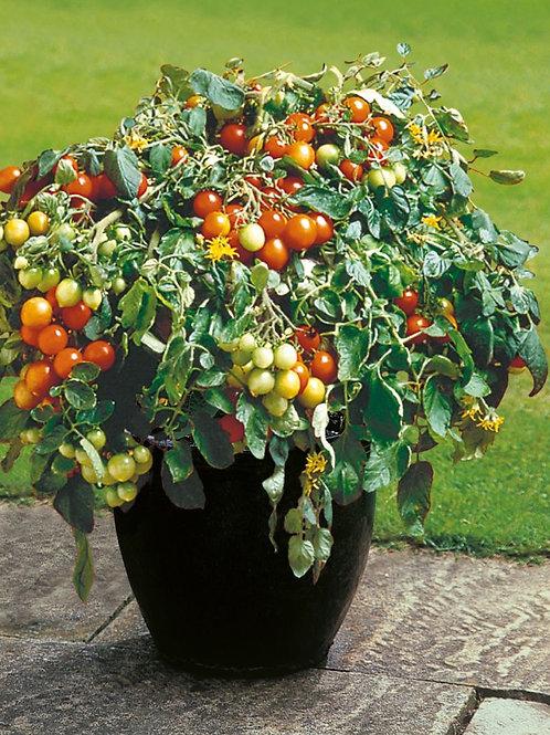 Plant de tomates Duchesse avec tuteur dans un pot de terrasse (à l'unité)