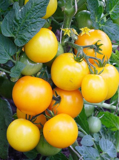 Plant de tomates Lemon Boy (à l'unité)