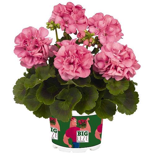 Geranium Big Ezee rose