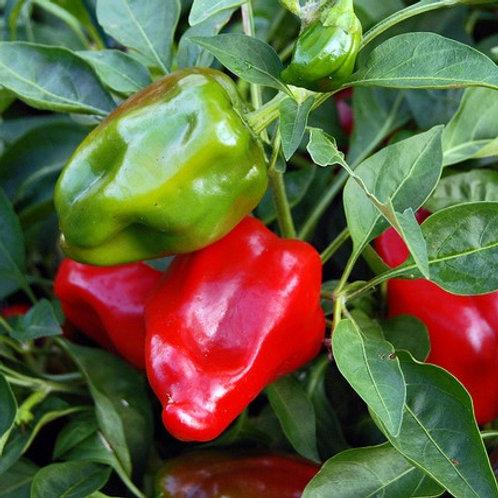 Plant de poivron rouge Red Knight (pqt de 4)