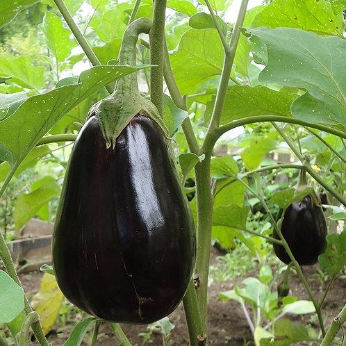 Semences aubergines Black Beauty
