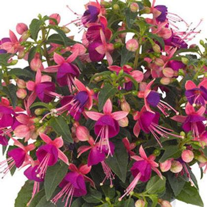 Fuchsia Arêtes Upright Rio Grande