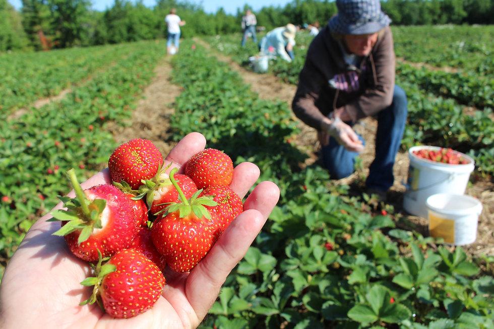 fraises acadie nouvelle.jpg