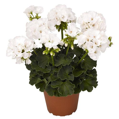 Geranium Zn Survival blanc