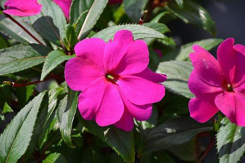 Impatiens New Guinea Orchid