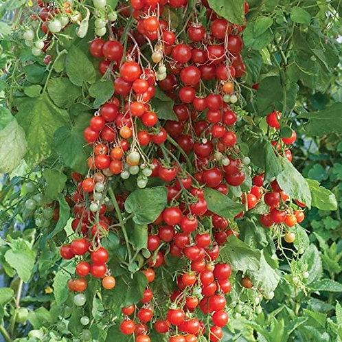 Plant de tomates Sweet 100 (à l'unité)