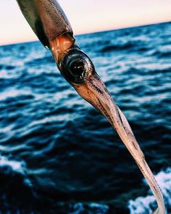 Flying Squid #ondeck #squid