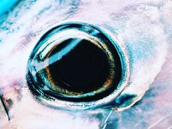 Fish eye #lookingatme #tuna