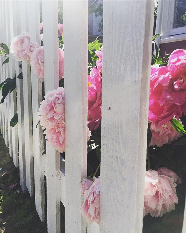 Finding gems on our morning strolls 🌺💎🌸 #daily #gratitude 🙏 #peonies are my #favorite