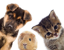 cute-puppy-guinea-pig-kitten.jpg