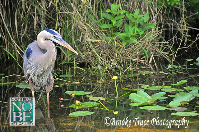 Great Blue Heron in the Glades