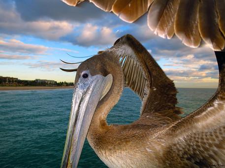 Pelican Close up