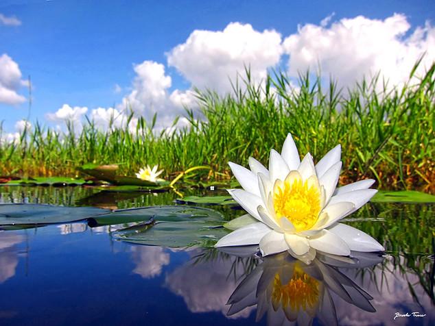Morning White Waterlily