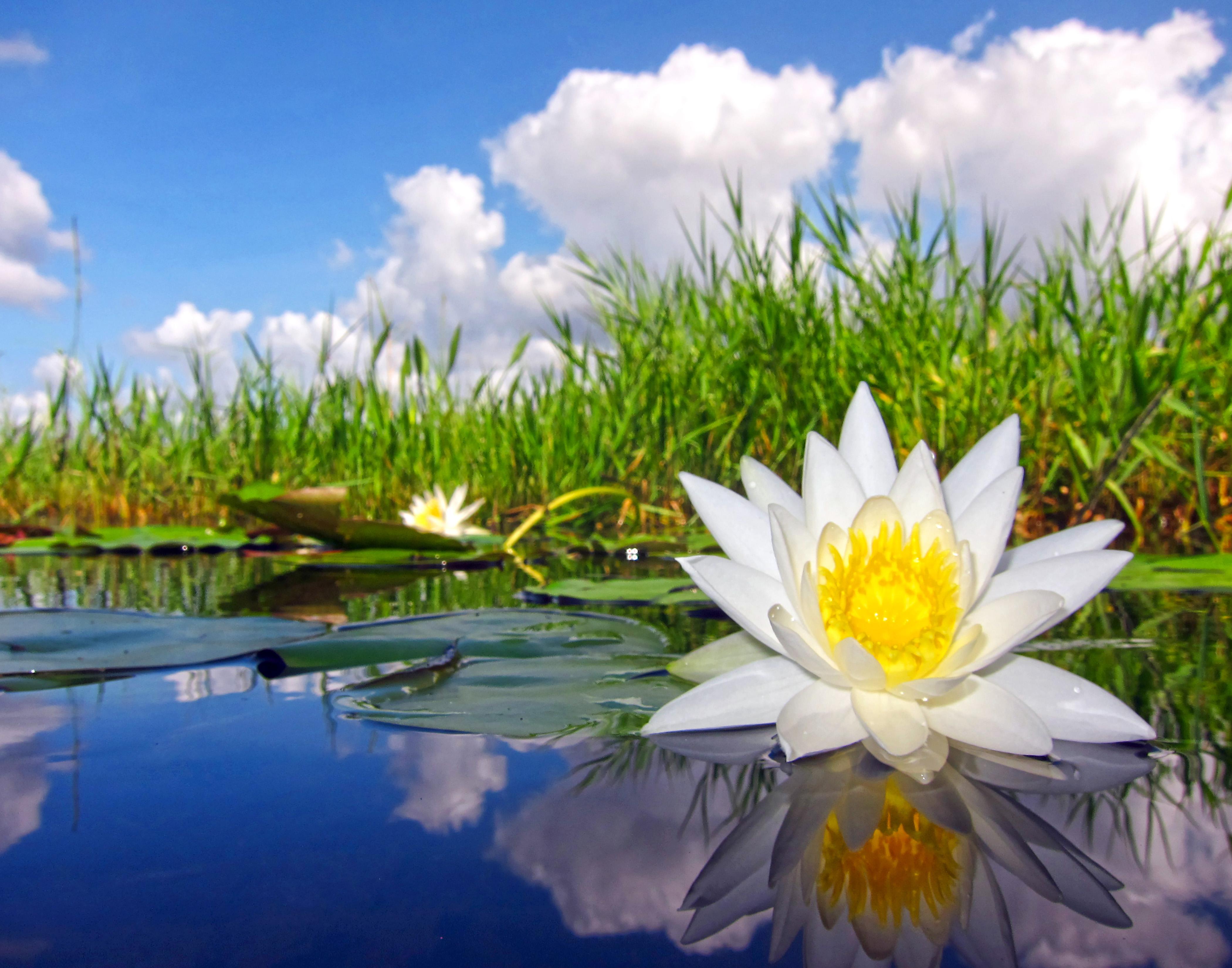 Everglades Waterlily