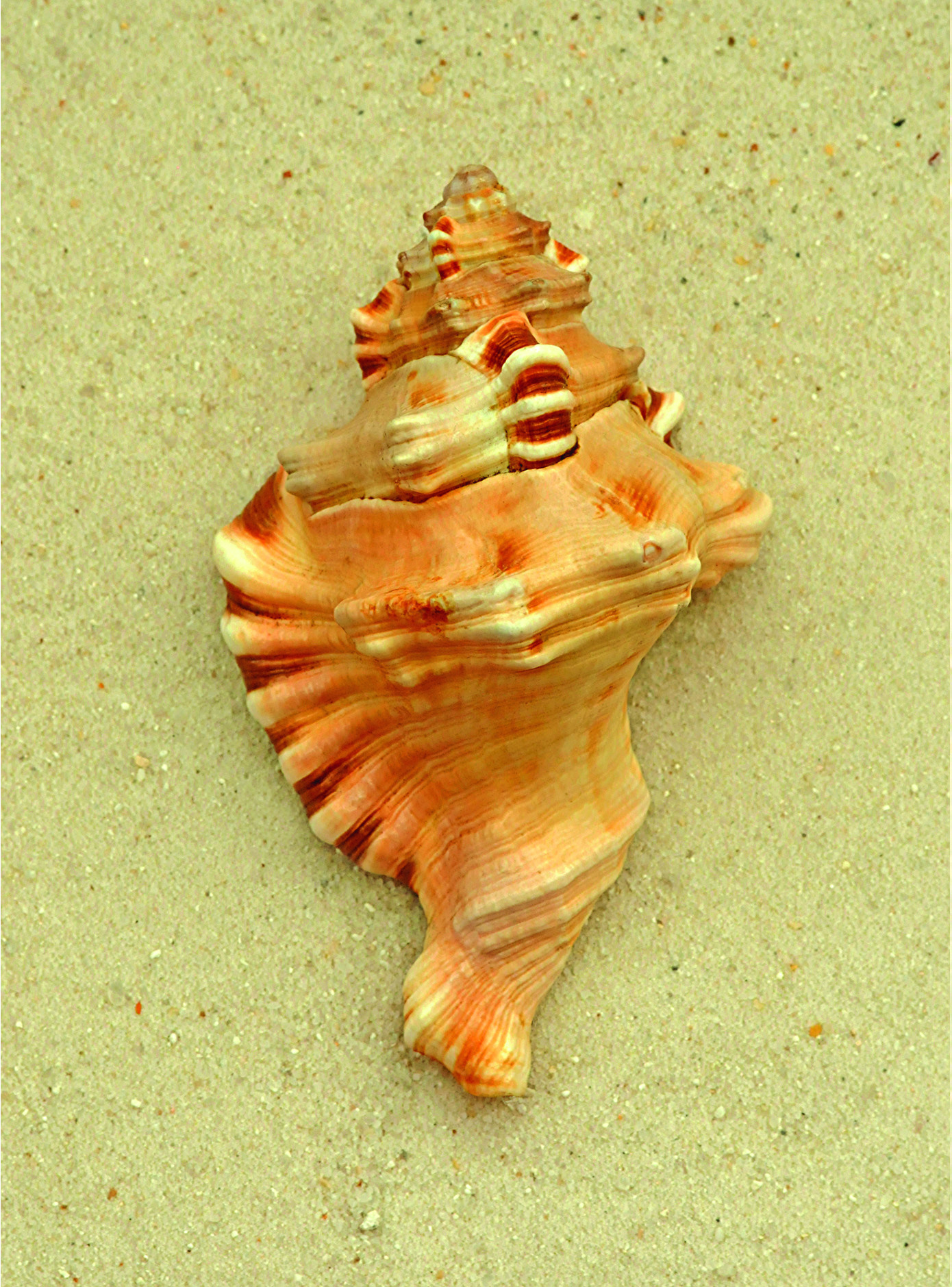 Trident Conch