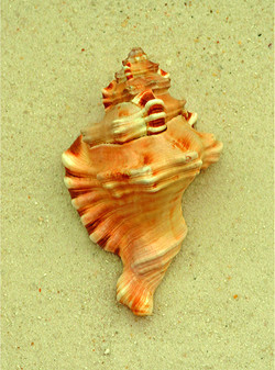 Trident Conch
