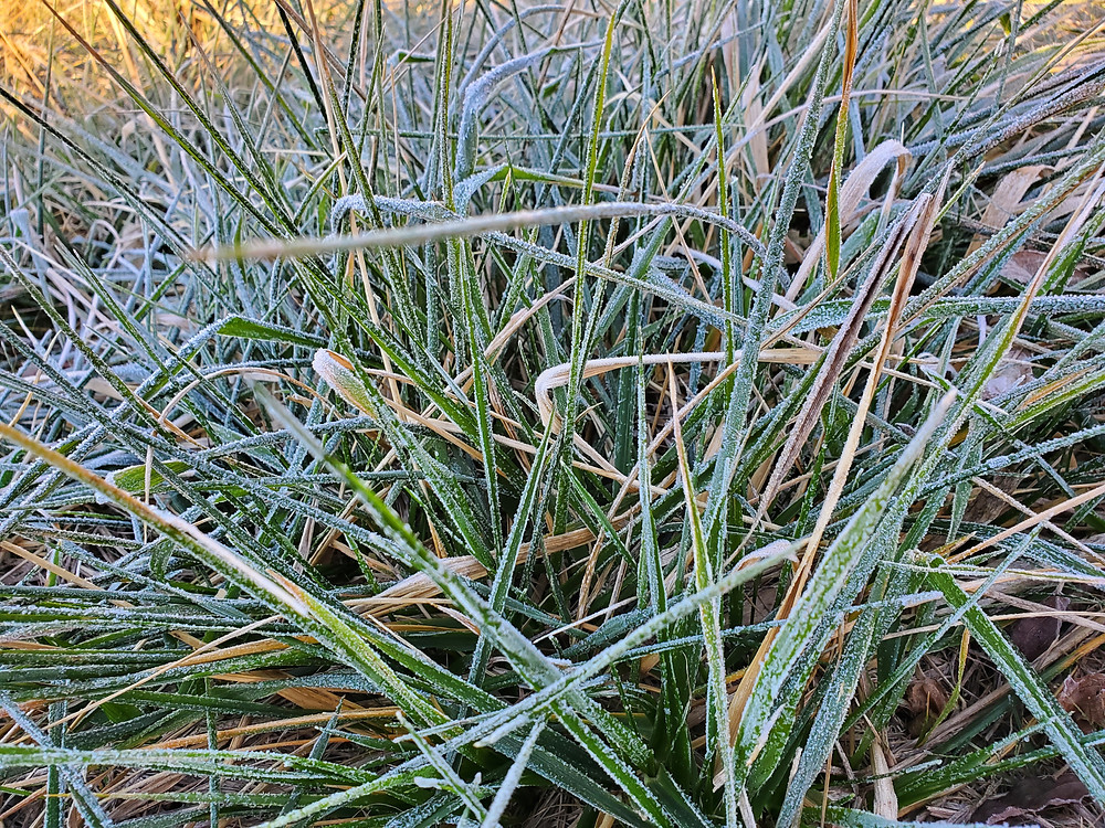 Frosted fescue grass in a close up.