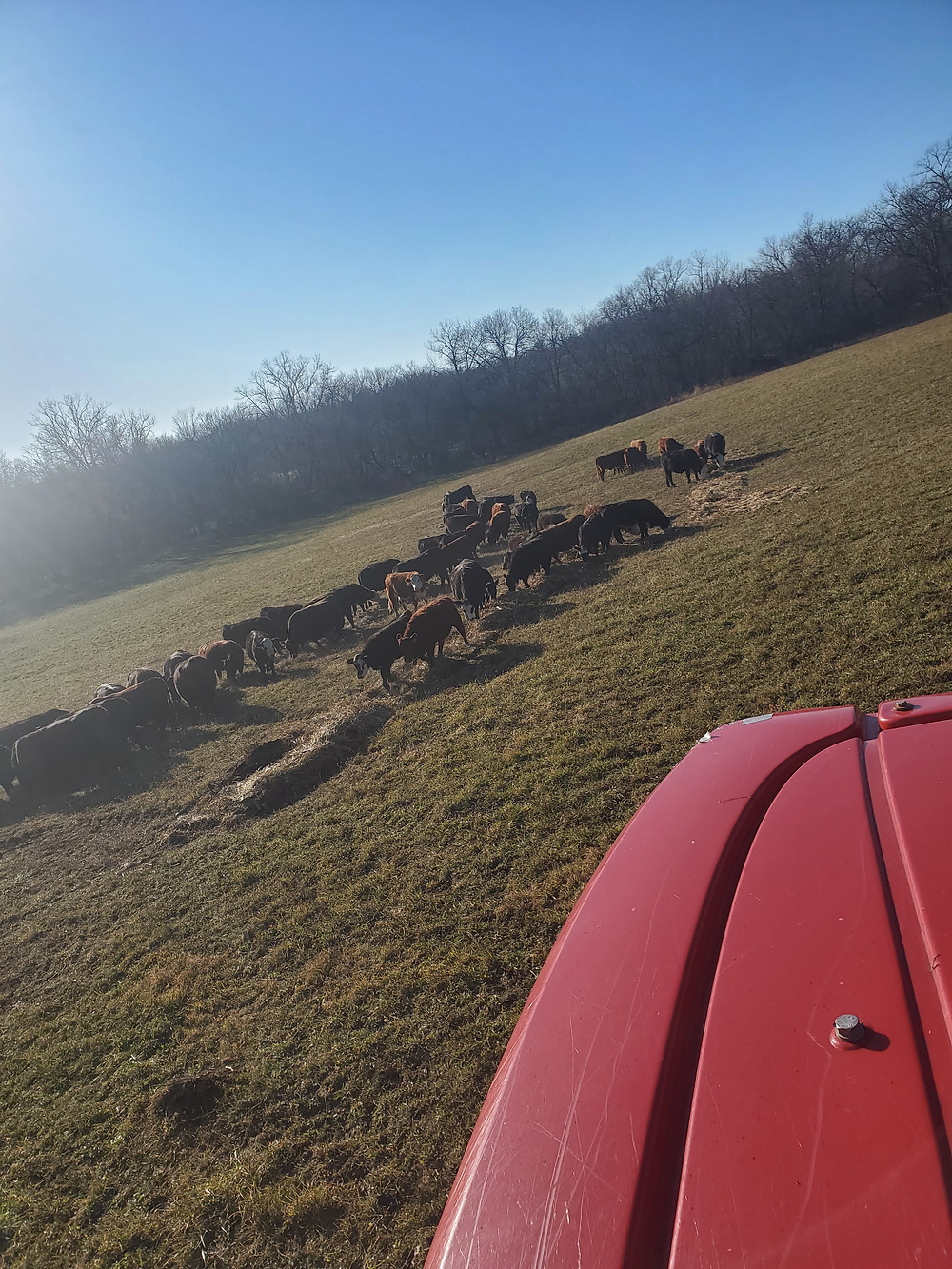 Cattle gather around hay rolled out on the ground.