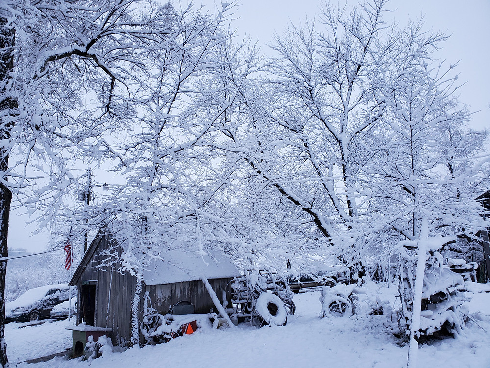 Trees and a shed softened by a layer of snow.