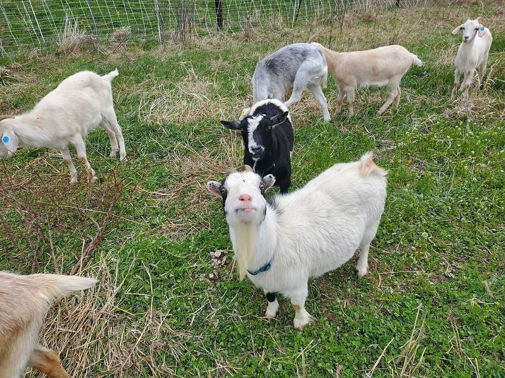 A group of goats.