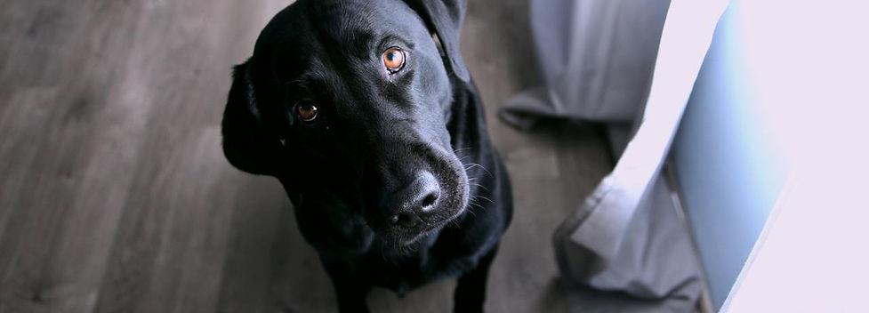 Labrador - cropped.jpg