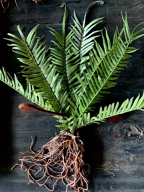 faux fiddlehead fern with roots