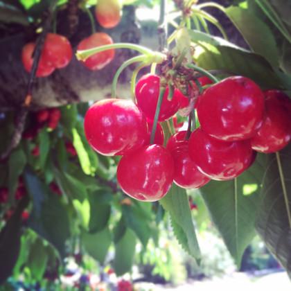 Oregon Cherry Growers