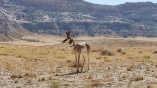 Mountain Antelope