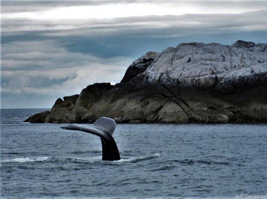 Whale in Alaska (8) 2008