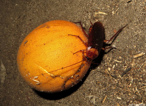 Noho Roach Orange 2013