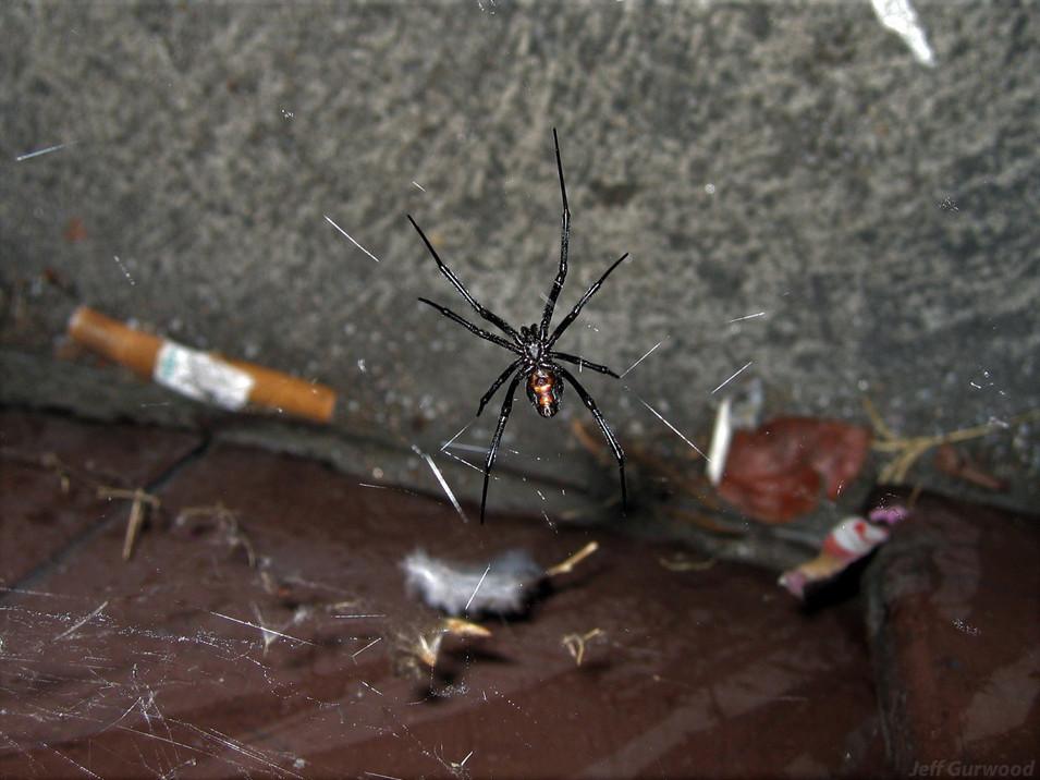 Black Widow by 7-11 in Burbank 2006 2