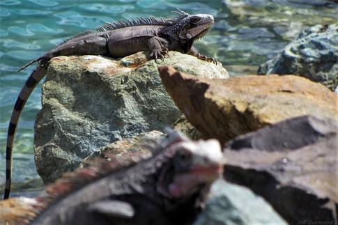 Nassau Iguanas 2012 3
