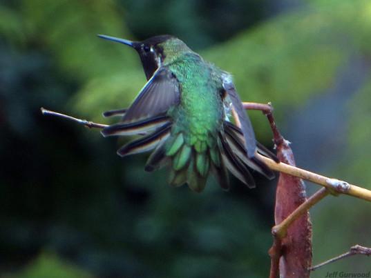 Burbank Hummingbird 2014