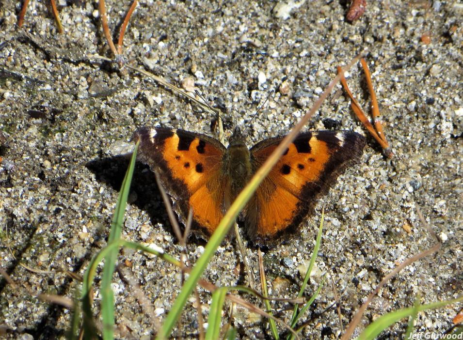 Yosemite Butterfly 2018