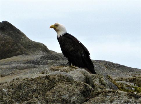 Eagle in Alaska 2008