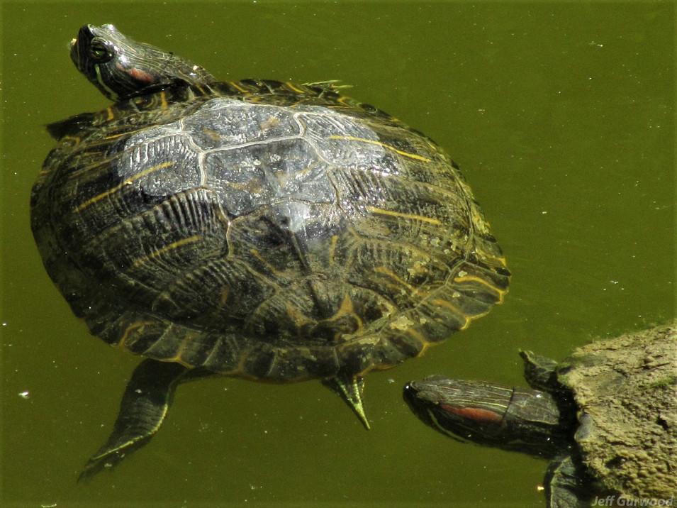 Turtles 2011