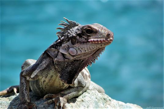 Nassau Iguanas 2012 2