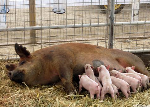 Mama Pig 2016