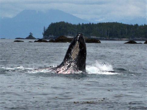 Whale in Alaska (4) 2008