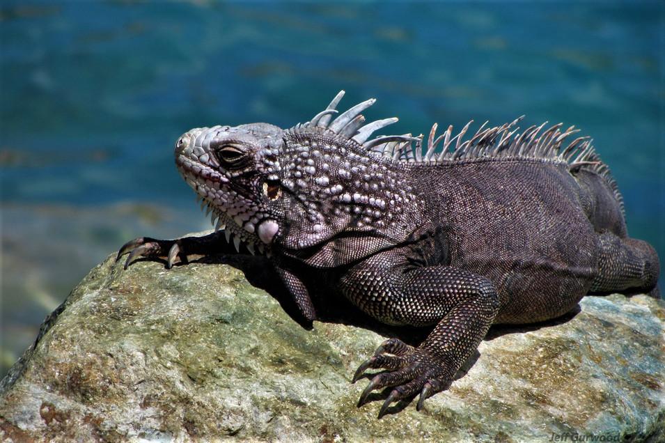 Nassau Iguanas 2012 1